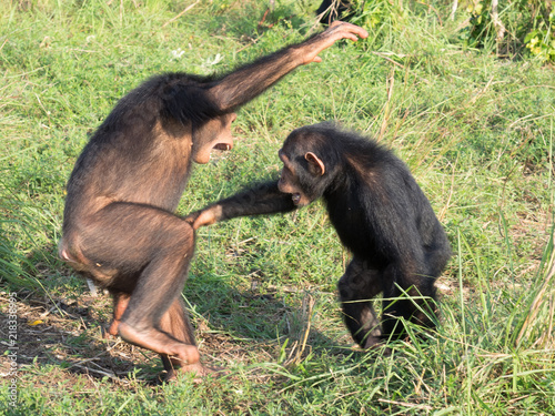 chimpanzee consists of two extant species the common chimpanzee and