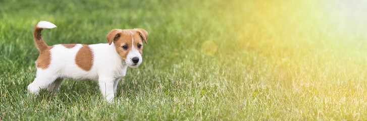 Happy jack russell terrier pet dog puppy standing in the grass - web banner with copy space