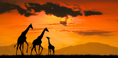 silhouette Giraffe against red sun at sunset