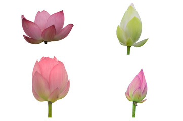 Collection of Isolated pink lotus and White lotus  on a white background , A beautiful pink lotus and White lotus from Thailand