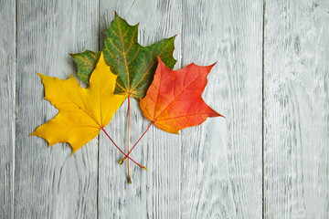 multi-colored three maple leaf on wooden grey background