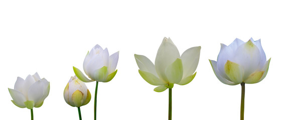 Collection of Isolated White lotus on a white background , A beautiful White lotus from Thailand