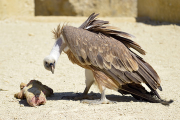 Closeup of griffon vulture (Gyps fulvus) on ground with piece of meat