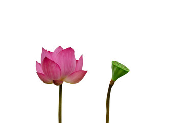 Isolated  pink lotus and Pods of Lotus on a white background
