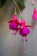 Fuchsia. Branch of flower fuchsia. Purple flower.