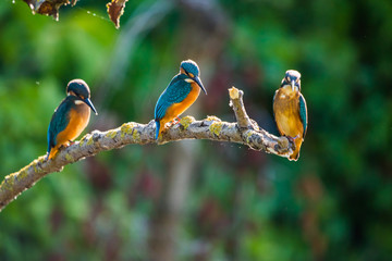 Three Common European Kingfishers or Alcedo atthis perched on a stick above the river and hunting for fish