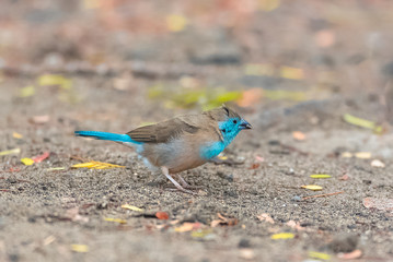 Blue Waxbill, Uraeginthus angolensis, little blue bird in Sao Tome