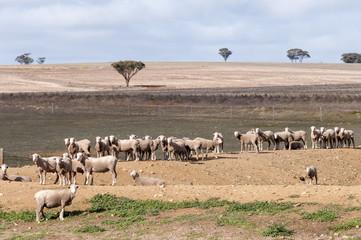Foto op Canvas Schapen Sheep Australia