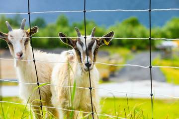 Goats eating grass on pasture