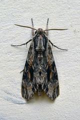 agrius convonvuli moth
