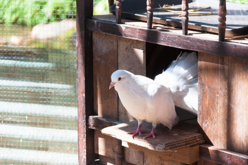 White Pigeons are sitting in the window of their wooden house.
