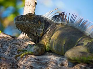 Chillin Iguana
