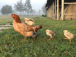 Hen on a grassy field with a chick riding on the back with other chicks following