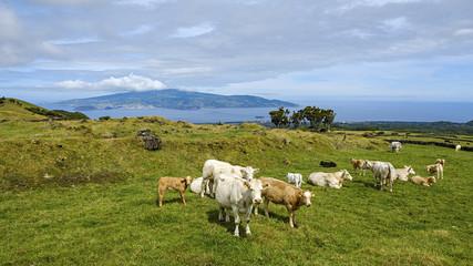 Viehweide auf der Insel Pico