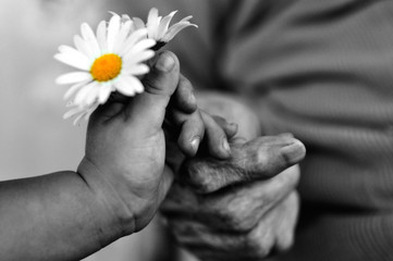baby hand gives chamomile for older woman on holiday. black and white photo