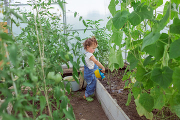 A cute little girl is watering tomatoes in a greenhouse