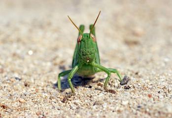 green funny grasshoper locust on the sand