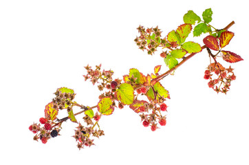 Blackberry branch with immature berries