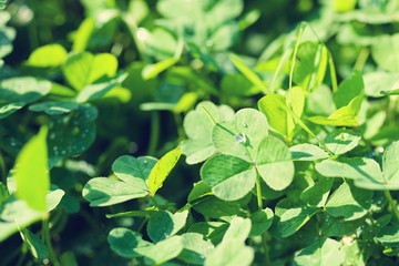 Clover petals, green background, soft focus. St. Patrick's day holiday symbol.