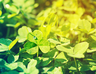 Clover petals, gentle green background, toned, soft focus. St. Patrick's day holiday symbol.