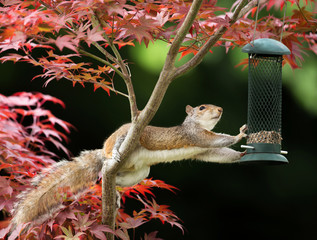 Printed roller blinds Bird Grey Squirrel eating from a bird feeder on a colorful Japanese Maple