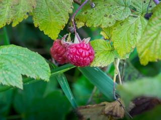 Raspberries on a bush close-up, macro