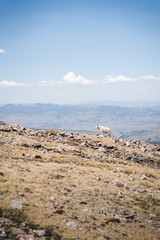 A mountain goat at the top of a mountain in Silverthorne, Colorado.
