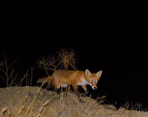 Red fox, a dog-like animal. The fox is looking for food at night in a field among dry grass.