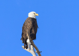 American Bald Eagle Sitting on Tree Branch