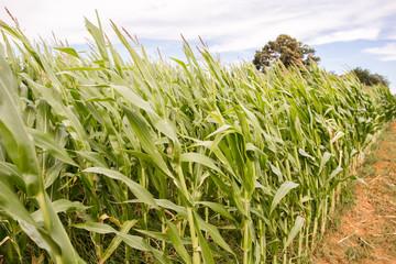 Closeup of corn stalks in a field in rural southern America in late summer.
