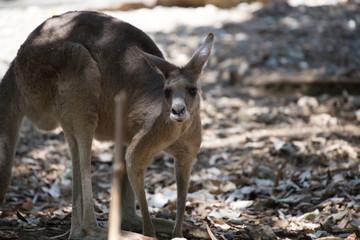 Kangaroo 2