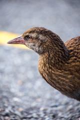 New Zealand Weka bird closeup