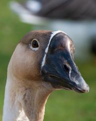 New Zealand Weka bird