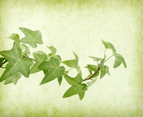 Fototapete - green ivy on old grunge antique paper texture