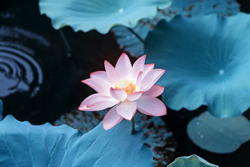 Foto op Plexiglas Lotusbloem blooming lotus flower