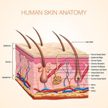 Human Body skin anatomy vector illustration with parts vein artery hair sweat gland epidermis dermis and hypodermis