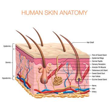 Human Skin Anatomy vector illustration isolated background