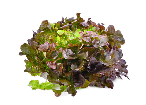 hydroponic red oak lettuce isolated on white background