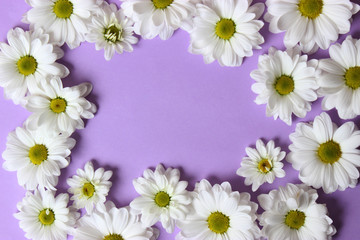Background of daisies on a purple background. Beautiful flowers with white petals on a red background with space for text  .March 8.Valentine's Day.Birthday.