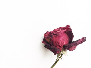Dried red rose isolated on white background