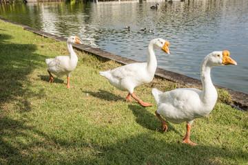 goose walking on green grass