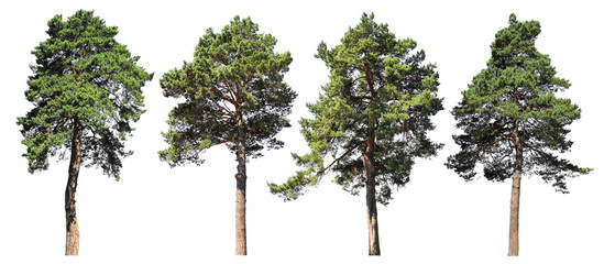 Pine, spruce, fir. Coniferous forest. Set of isolated trees on white background