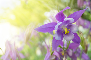 beautiful violet flower aquilegia on a blurred background in sunlight. toned photo