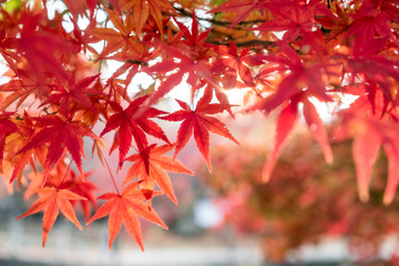 Red Maple leaves in garden