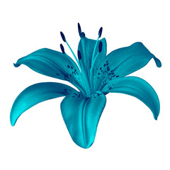 flower cerulean  lily isolated on white background. Close-up. Element of design.