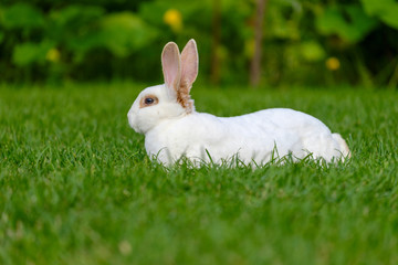 Calm and sweet little white rabbit sitting on green grass