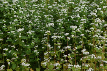Buckwheat flowers blooming in one side