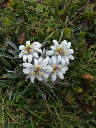 Edelweiss Fleur Des Alpages Protege Geschutzt Alpenblume Alpe