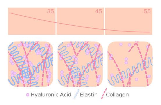 aging skin level vector / hyaluronic acid / elastin / collagen
