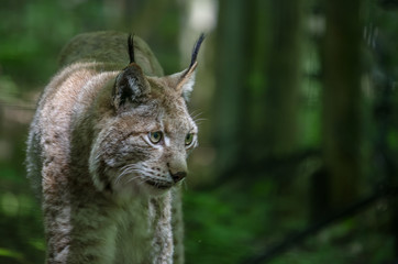 Door stickers Lynx luchs